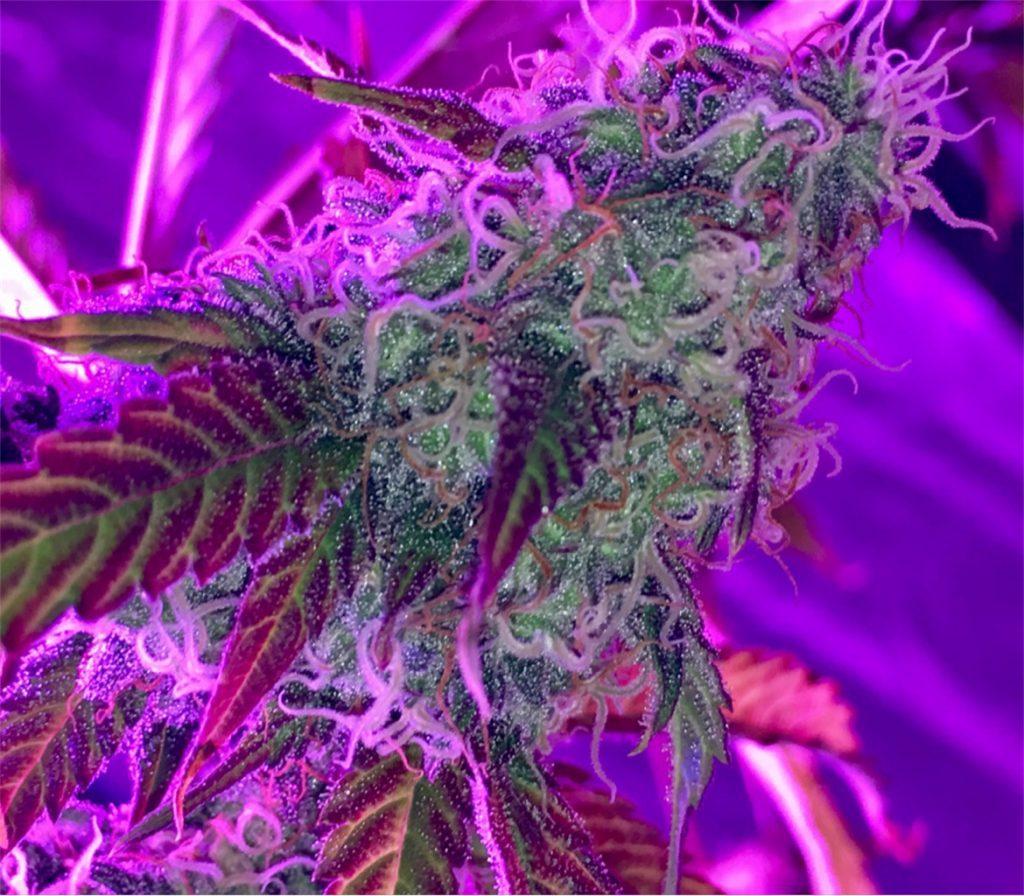 LSD by Barney's Farm